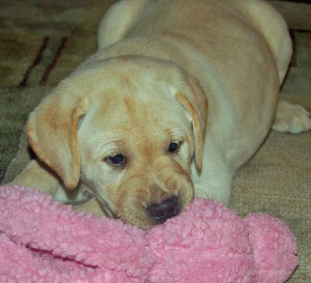 Dylan the Labrador Retriever Pictures 215053