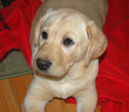 Dylan the Labrador Retriever Pictures 215051