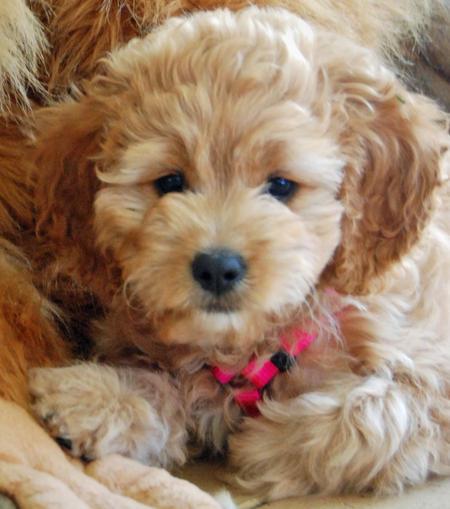 Bonnie the Poodle Mix Pictures 206642
