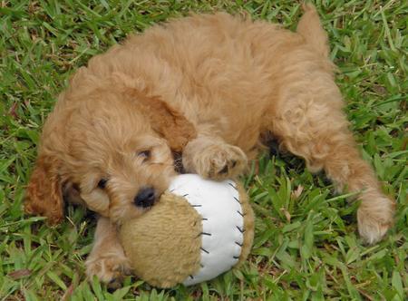 Bonnie the Poodle Mix Pictures 206641