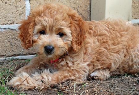 Bonnie the Poodle Mix Pictures 206640