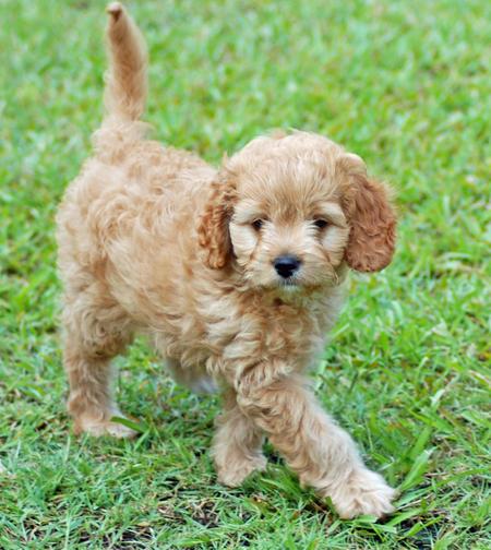 Bonnie the Poodle Mix Pictures 206638