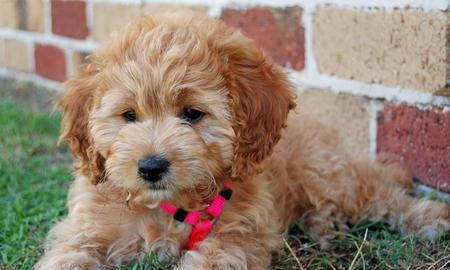 Bonnie the Poodle Mix Pictures 206637