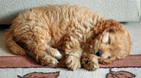 Bonnie the Poodle Mix Pictures 206636