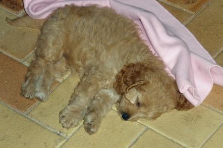 Bonnie the Poodle Mix Pictures 206635