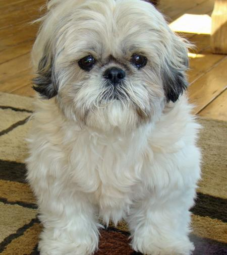 Tyla the Shih Tzu Pictures 206346