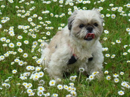 Tyla the Shih Tzu Pictures 206351