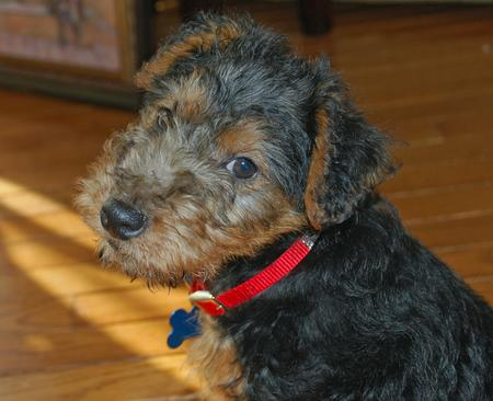Elle the Welsh Terrier Pictures 228110