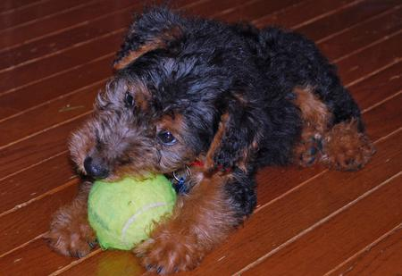 Elle the Welsh Terrier Pictures 228109