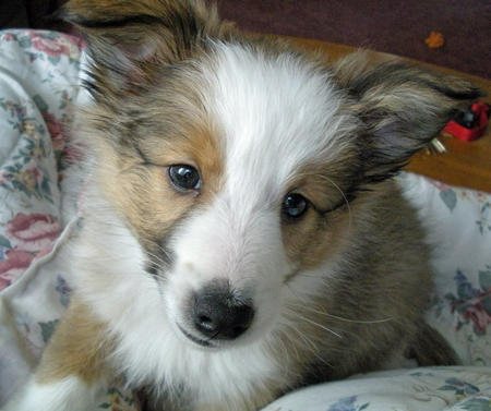 Bear the Shetland Sheepdog Pictures 242992