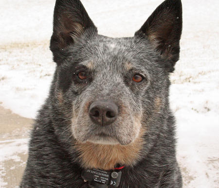 Hogan the Blue Heeler Pictures 214213