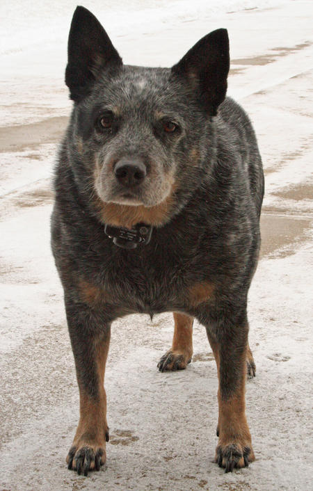 Hogan the Blue Heeler Pictures 214215