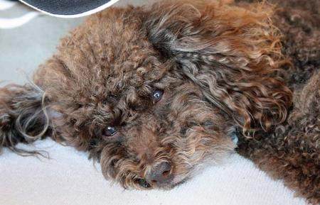 Louis the Poodle Pictures 212975