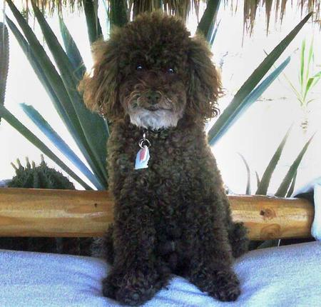 Louis the Poodle Pictures 212973