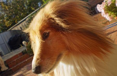Jake the Shetland Sheepdog Pictures 214913