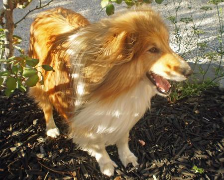 Jake the Shetland Sheepdog Pictures 214915