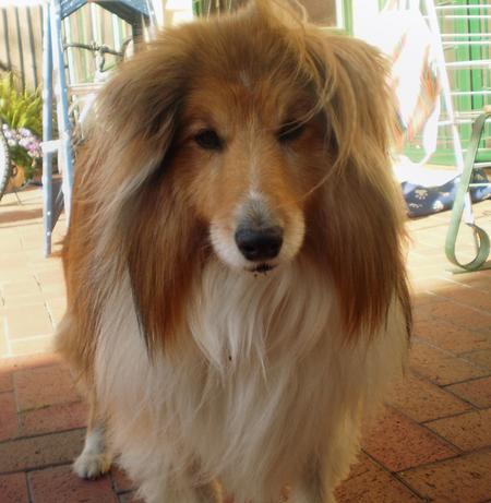 Jake the Shetland Sheepdog Pictures 214914