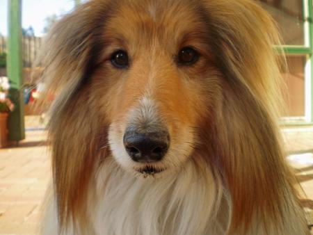 Jake the Shetland Sheepdog Pictures 214918