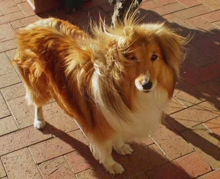 Jake the Shetland Sheepdog Pictures 214917