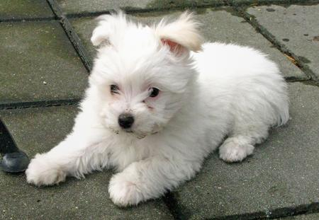 Emily the Maltese Pictures 266542