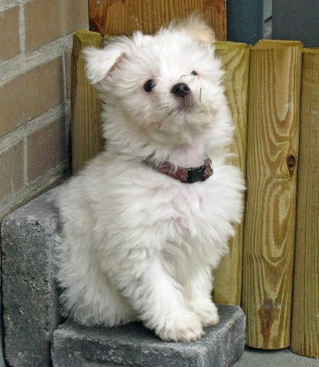 Emily the Maltese Pictures 266545