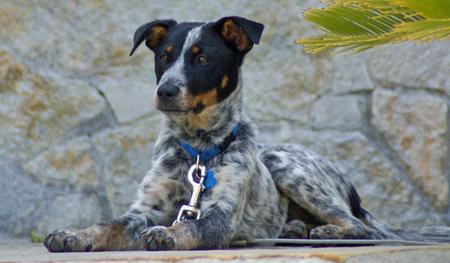 Saphira the Australian Cattle Dog Pictures 228831