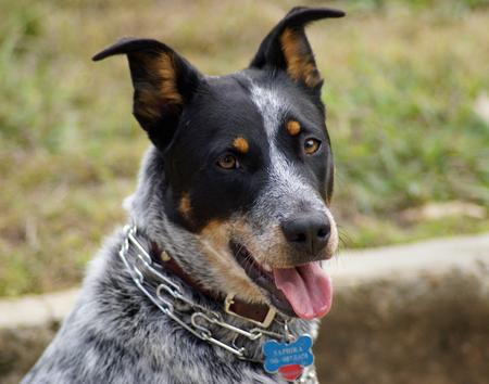 Saphira the Australian Cattle Dog Pictures 228830