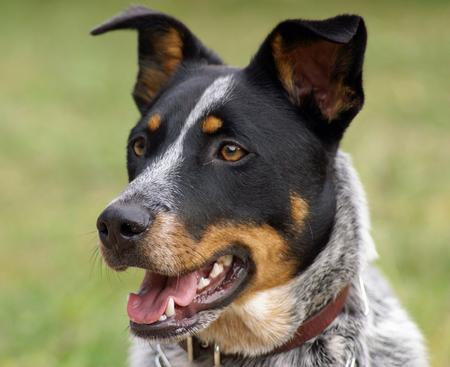 Saphira the Australian Cattle Dog Pictures 228828