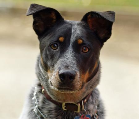Saphira the Australian Cattle Dog Pictures 228827