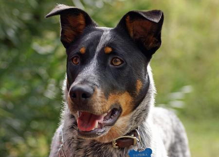 Saphira the Australian Cattle Dog Pictures 228826