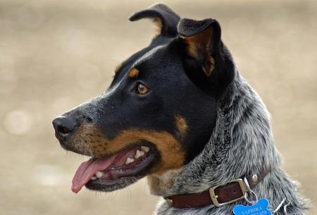Saphira the Australian Cattle Dog Pictures 228825