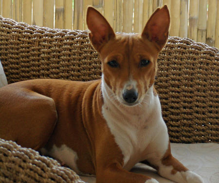 Kabu the Basenji  Pictures 237698