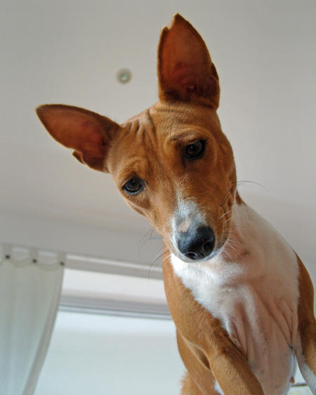 Kabu the Basenji  Pictures 237699