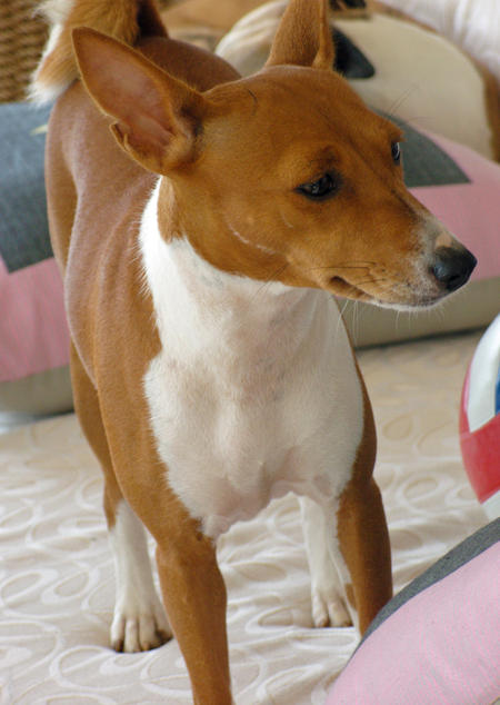 Kabu the Basenji  Pictures 237696