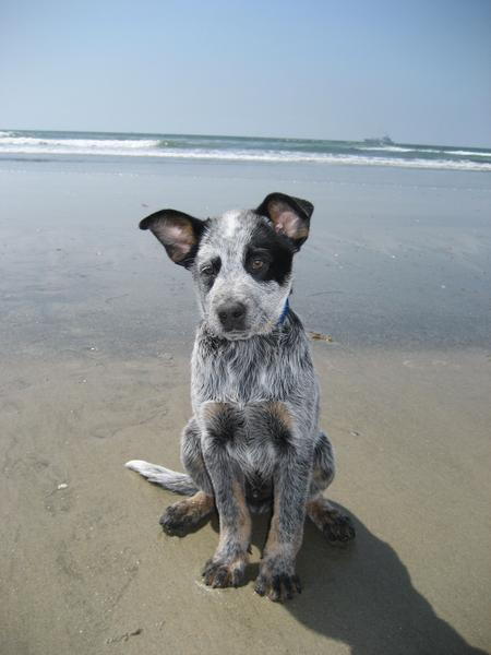 Tex the Australian Cattle Dog Pictures 15712