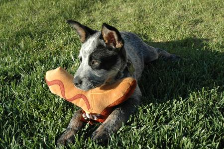Tex the Australian Cattle Dog Pictures 15713