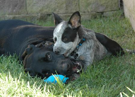 Tex the Australian Cattle Dog Pictures 15715