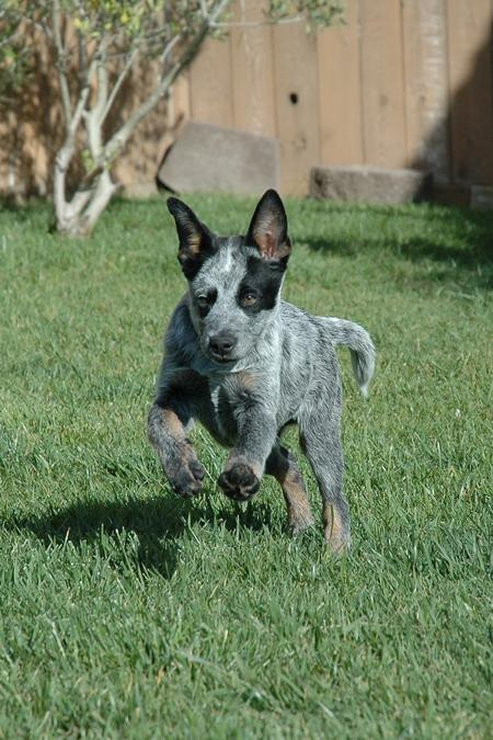 Tex the Australian Cattle Dog Pictures 15703
