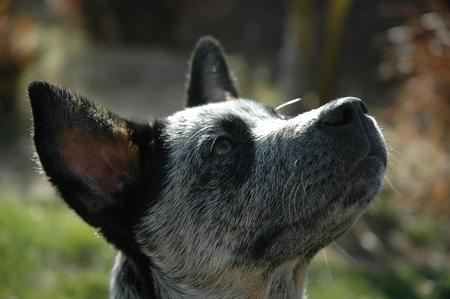 Tex the Australian Cattle Dog Pictures 15711