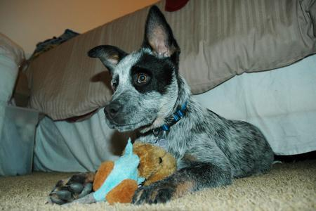Tex the Australian Cattle Dog Pictures 15716