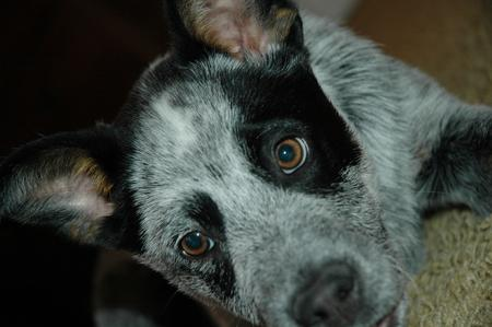Tex the Australian Cattle Dog Pictures 15708