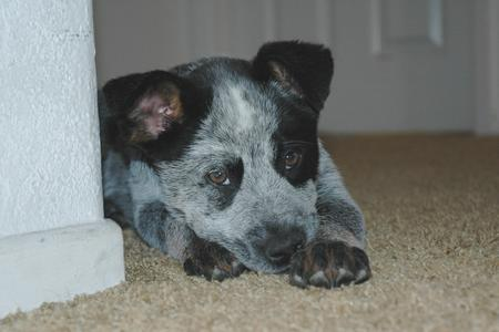 Tex the Australian Cattle Dog Pictures 15709