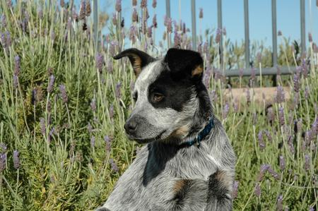 Tex the Australian Cattle Dog Pictures 15704