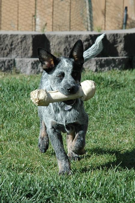 Tex the Australian Cattle Dog Pictures 15705