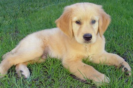 Beau the Golden Retriever Pictures 222397