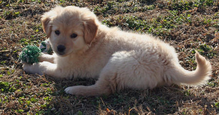 Addie the Golden Retriever Pictures 238046