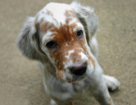 Addison the English Setter Pictures 245365