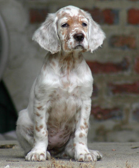 Addison the English Setter Pictures 245364