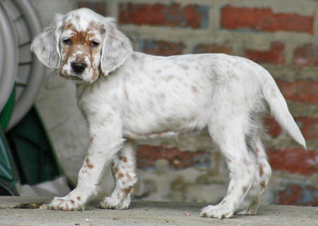 Addison the English Setter Pictures 245363