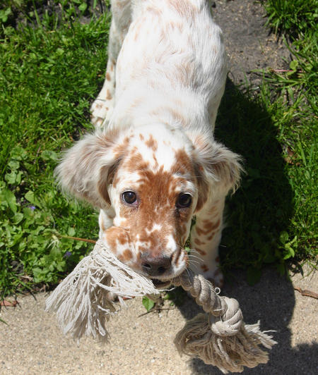 Addison the English Setter Pictures 245361